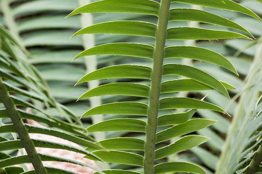 Zamia, Genus, Cycad, Two, Female Plant