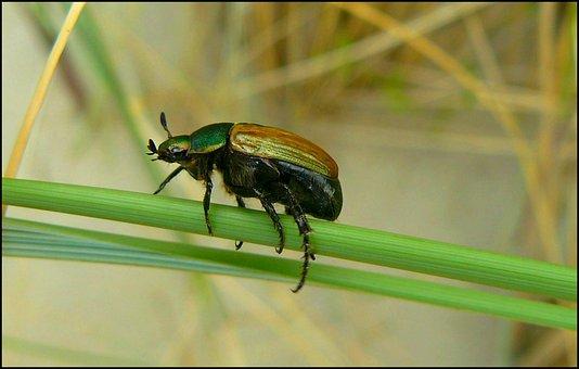 Beetle, Insect, Climb, Insect Macro, Beetle Macro