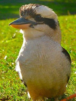 Kookaburra, Bird, Australian, Wildlife, Australia, Beak