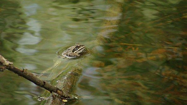 Branch, Frog, Legs, Pond, Swim, Underwater, Water