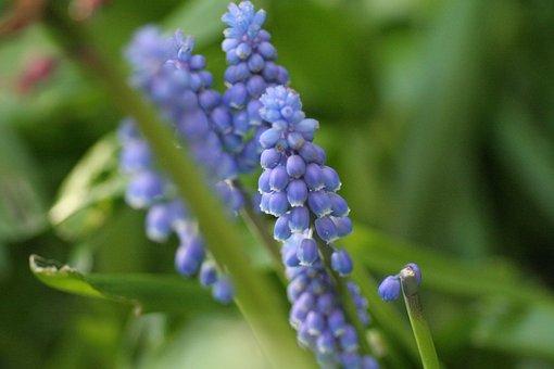 Grape Hyacinth, Hyacinth, Muscari, Blue, Purple, Bulb