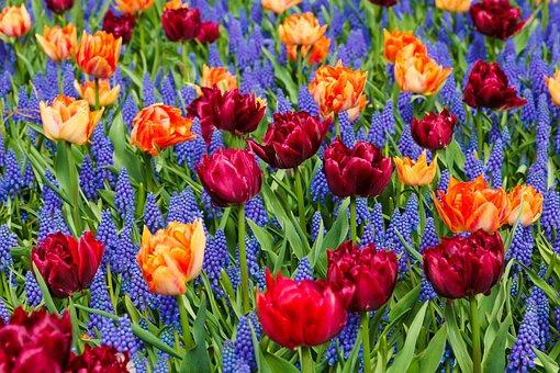 Orange, Tulips, Flower, Purple, Bloom, Grape, Hyacinths