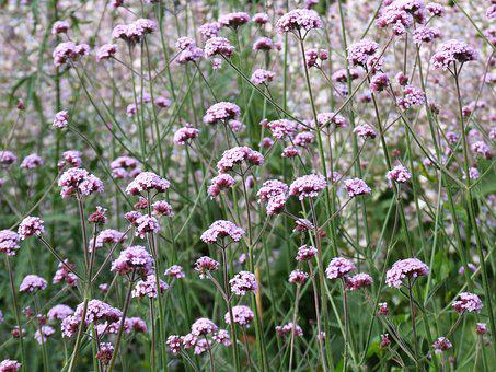 Verbena, Flower, Nature, Wild, Field, Plant, Purple