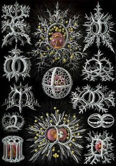 Single Celled Organisms, Radiolarians, Radiolaria