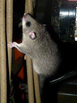 Rodent, Edible Dormouse, Glis Glis, Similar To Mouse