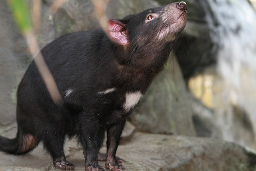 Tasmanian Devil, Sarcophilus Harrisii, Species
