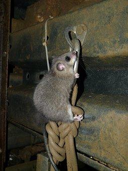 Edible Dormouse, Rodent, Glis Glis, Similar To Mouse