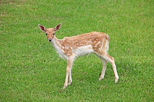 Deer, Fawn, Doe, Wildlife, Animal, Mammal, Cute, Young