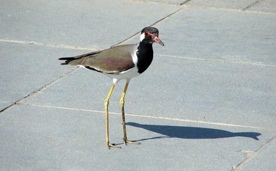 Bird, Lapwing, Redwattled, Fauna, Wildlife, Avian