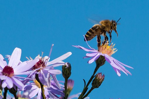 Bee, Insect, Honey Bee, Close Up, Macro, Animal, Asters