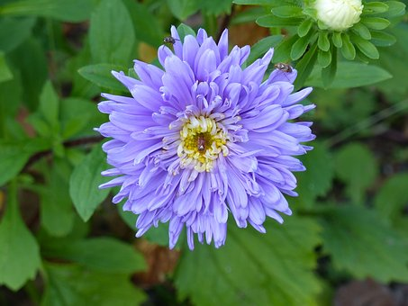 Aster, Autumn, Flower, Garden, Blue, Green, Leaf