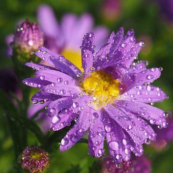 Dewy, After The Rain, Astra, Flower, Asters, Nature