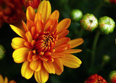 Autumn Chrysanthemums, Autumn Flower, Aster, Autumn