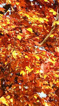 Autumn, Leaves, Tree, Yellow, Fall Color