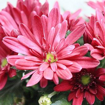 Aster, Blossom, Bloom, Red, Flower, Autumn