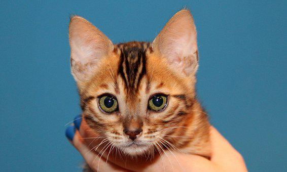 Kitten, Bengal, Brown Spotted Tabby