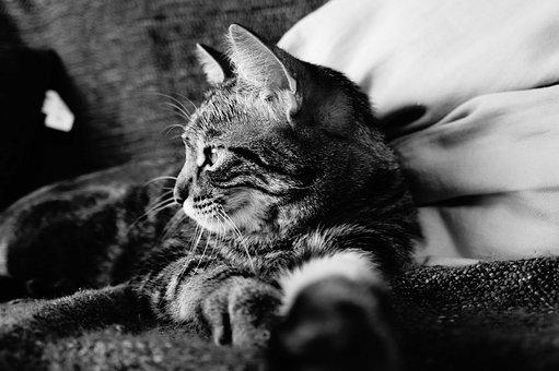 Cat, Tabby Cat, Black And White, Cat Lying, Feline, Pet