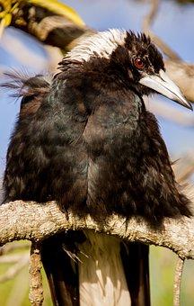 Australian Magpie, Magpie, Bird, Black, White, Feathers