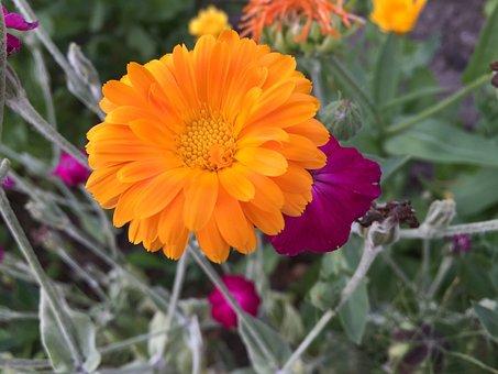 Flower, All Year Round, Bloom, Garden, Orange, Sun