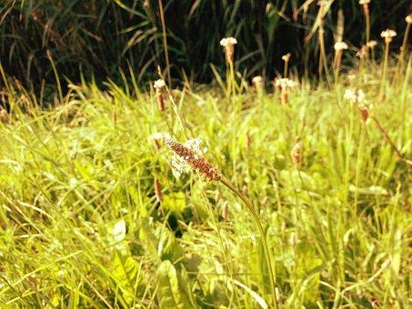 Plantain, Meadow, Blossom, Bloom, Plantago Lanceolata