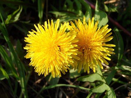 Dandelion, Blossom, Bloom, Yellow, Grow, Plant, Nature