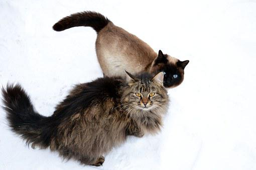 Animal, Furry, Siberian Cat, Siamese Cat, Blue Eyes