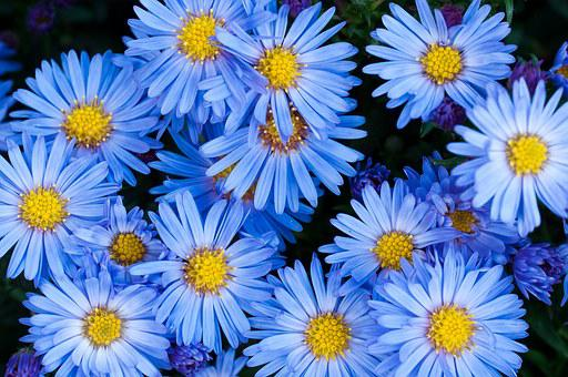 Flowers, Asters, Blue, Blue Flower, Garden