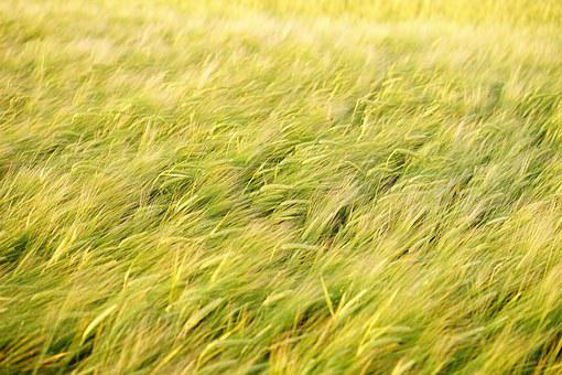 Field, Spike, Grain, Cereals, Ripe, Agriculture