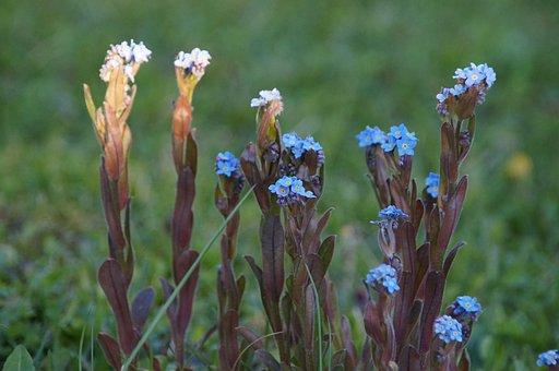 Veronica Persica, Flower, Stengel, Garden, Close, Blue