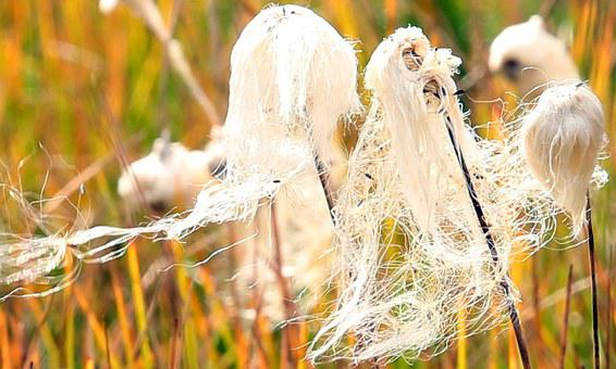 Eriophorum Angustifolium, Cotton, White, Grass, Woolly