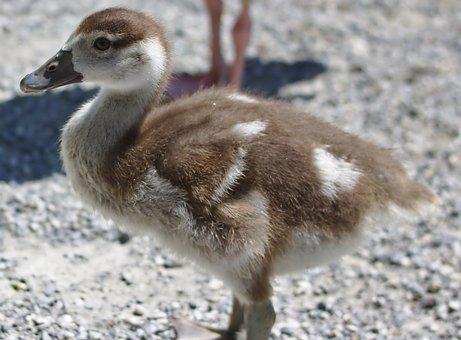 Goose, Bird, Plumage, Food, Animal, Poultry, Creature