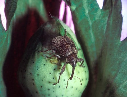 Pest, Boll Weevil, Destructive Insect, Devastating