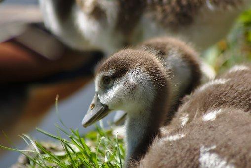 Goose, Chicks, Goslings, Goose Family, Bird, Plumage