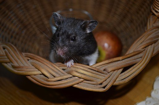 Hamster, Animal, Muzzles, Mustache, Little Thing