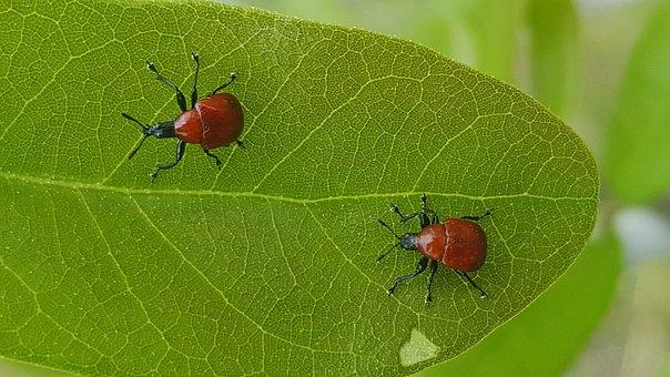 Weevils, Bugs, Beetles, Leaf-rolling Weevils, Insects