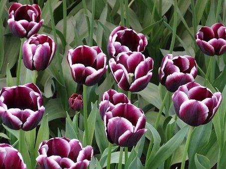 Tulips, Flowers, Holland, Keukenhof, Purple, Flower