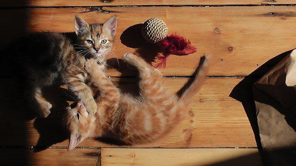 Kittens, Playful, Cat, Cute, Animal, Young, Kitty, Pet