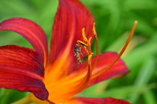 Daylily, Lily, Flower, Plant, Stamens, Ovary, Orange