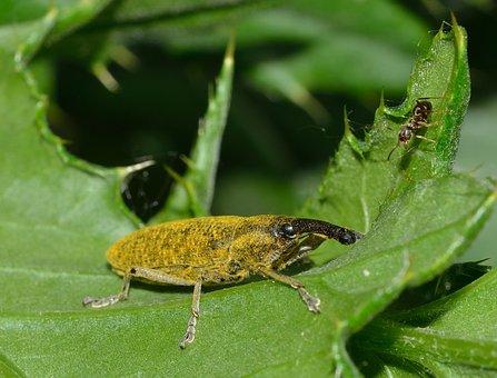 Beetles, Weevil, Lixus, Pulverulentus