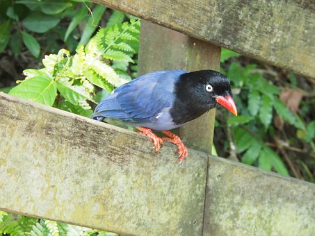 Blue Magpie, Long-tailed Mountain Mother