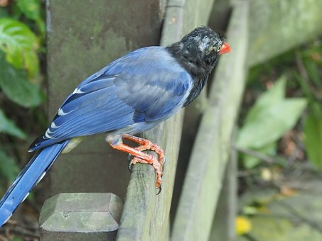 Long-tailed Mountain Mother, Blue Magpie