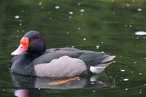 Rosy-billed Pochard, Magpie, Duck Bird, Diving Duck