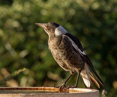 Magpie, Australian Magpie, Cracticus Tibicen, Young