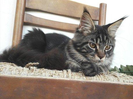 Mainecoon, Cat, Cats, Kitten, Kittens, Purebred Cats