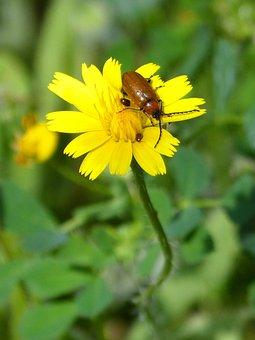 Weevil, Young, Beetle, Diptera, Orange Beetle