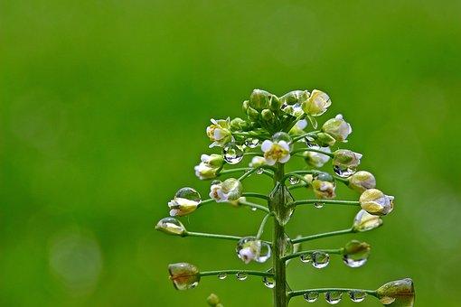 Ordinary Shepherd's Purse, Raindrop, Drop Of Water