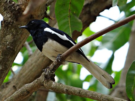 Oriental Magpie-robin, Male, Copsychus Saularis