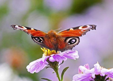 Butterfly, Peacock Butterfly, Aster, Autumn Flower