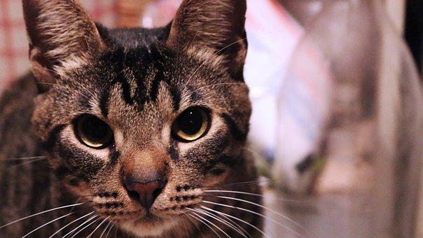 Cat, Whiskers, Cute, Kitten, Domestic, Animal, Pet