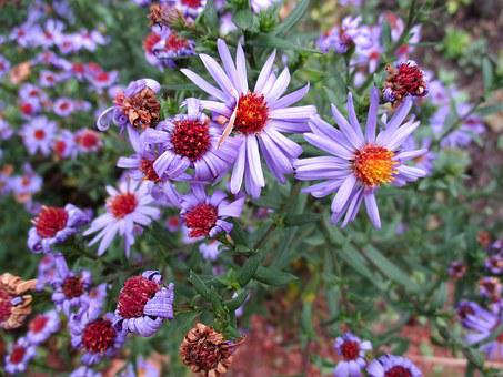 Pillow Aster, Blossom, Bloom, Plant, Autumn, Purple